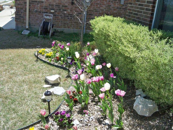Tulips in my garden ( Photo Credit: Brandy Voirin)